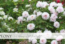 Bloom | Tree Suffruticosa Cultivars