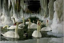 swans, gees, ducs,hens