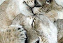 lıon &big cats