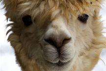 alpacas lamas / le charme animal, le sourire, des identités multiples et puis doux doux doux tellement doux
