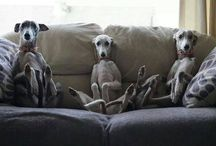 lovely whippets