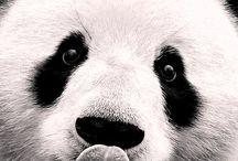panda lv