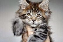 My favorite cat :-*** Maine Coon