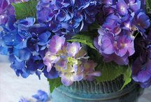 Hydrangea # Hortensia