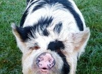 Favourite Pig Pictures