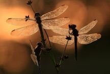 dragonflies / by Jennifer Epting