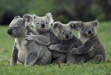 All God's Critters - Koalas / by Kay Hough