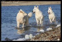 Witte herder vivid daydream