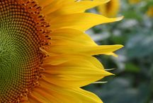 Sunflowers, sun, flowers, DYCs / Sunflowers, and sunflower inspired art, food, gardens, everything. DYCs damn (or damned) yellow composite  (Compositae). All yellow flowers