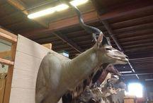 Taxidermy / www.CalAuctions.com