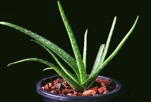 Plants to help Sleep