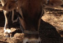 My Jersey cow Lily