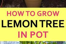 Lemons: How to grow in Pots.