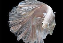 ベタ・スプレンデンス(Betta splendens) / 熱帯魚