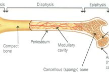The Skeletal System / The structure and function of the skeletal system.