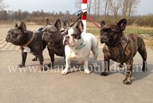 Blue French Bulldogs - Blauwe Franse bulldoggen / Beautiful and adorable blue French bulldogs - Prachtige en schattige blauwe Franse bulldog foto's