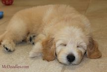 Goldendoodle puppies from Moss Creek / Goldendoodle puppy pictures!  :)