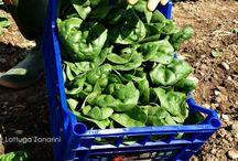 Raccolta spinacio 2014 / Raccolta spinacio 2014 #freschezza #Km0 #territorio #modena #lattugazanarini www.lattugazanarini.com