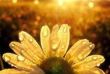 sunshine-flowers