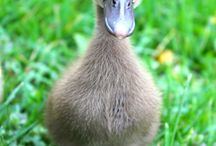 Duckland