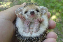 Hedgehogs / Prickly pals / by Jessie & Cyn S.