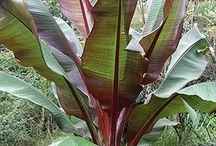 ornamental banana tree