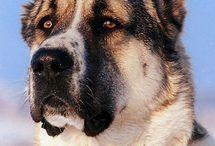 Középázsiai kutyusok