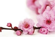 Japan - In Full Bloom