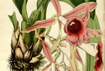 Botanical illustrations. Orchids