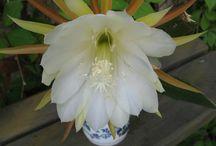 moje kaktusy / o mojich kaktusoch a sukulentoch