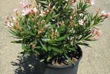 Nerium oleander / Nerium oleander Evergreen Shrub. One of the basic shrubs for desert and hot interior valleys. Moderate to fast growth; most varieties reach a maximum height of 8 – 12 ft. and as wide. Ordinary broad and bulky, but easily trained into a handsome single or many stemmed tree resembling an olive tree. Narrow leaves, dark green, leathery and glossy 4-12 in. long, attractive all seasons.