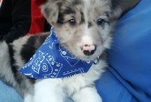 Our boy Blue / Blue Merle Border Collie Puppy/Dog