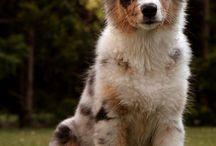 australský ovčák
