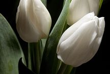 tulipánok / tulips