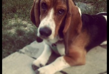 Bassets / Best breed ever / by Jackie Daniels