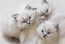 ❤Kitty Cat Families / by Christi Palmisano