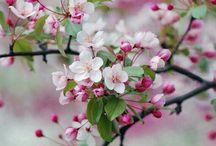 Cherry blosom