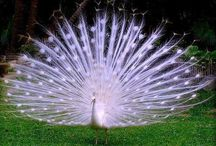 no birds like peacocks