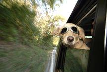 Dog Wear Sunglasses Funny Wallpaper   Famous HD Wallpaper