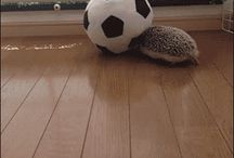 ♡ hedgehog