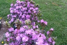 rododendron a azalky