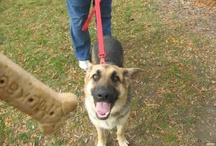German Shepherd needing to be adopted or rescued / These babies have been ADOPTED!
