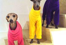 Italian Greyhounds...