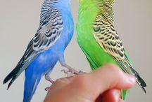 Lovebirds Budgerigars