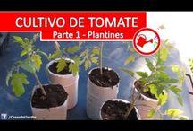 como plantar tomates espectaculares / En este proyecto vamos a explorar todo el proceso del cultivo del tomate. Paso a paso te voy a dejar un video de cada paso que voy dando en el ciclo de cultivo del tomate desde plantar el plantin hasta la cosecha de unos tomates espectaculares y riquisimos.