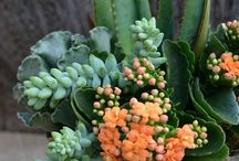 Kalanchoe Container Ideas