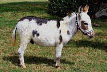 Horse Relatives / donkeys, mules, zebras, and other relatives of the horse