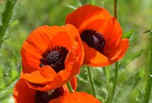 POPPIES & DAISYS