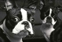 Boston Terrier Friendzy / BeagleFriendzy.com is a community for Boston terrier lovers! Like and share your own Bostie photos on our site, on Facebook, and on Pinterest.