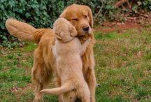 Golden retriever / #cute